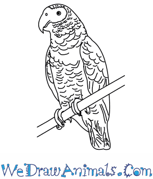 How to Draw an African Grey Parrot in 9 Easy Steps