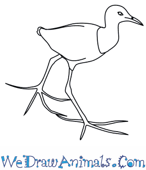 How to Draw an African Jacana in 7 Easy Steps