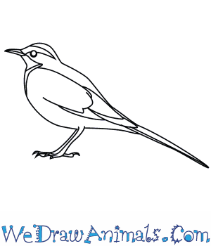 How to Draw an African Pied Wagtail in 7 Easy Steps