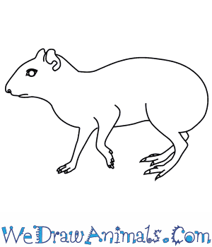 How to Draw an Agouti in 7 Easy Steps