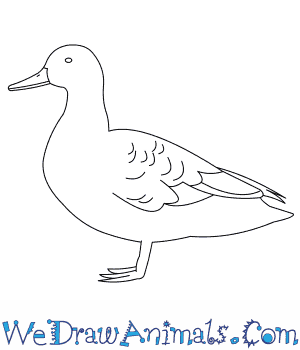 How to Draw an American Black Duck in 7 Easy Steps
