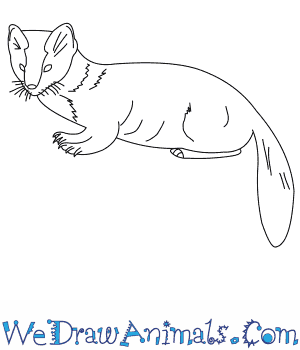 How to Draw an American Marten in 8 Easy Steps