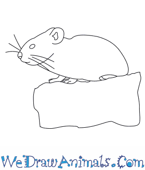 How to Draw an American Pika in 6 Easy Steps