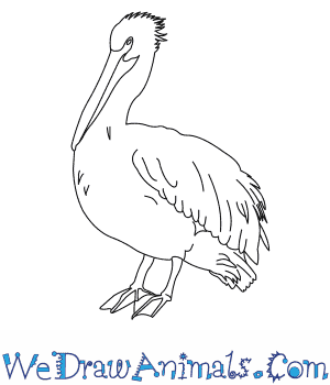 How to Draw an American White Pelican in 6 Easy Steps