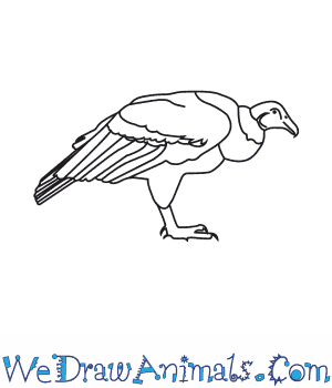 How to Draw an Andean Condor in 6 Easy Steps