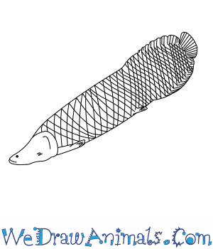 How to Draw an Arapaima in 8 Easy Steps