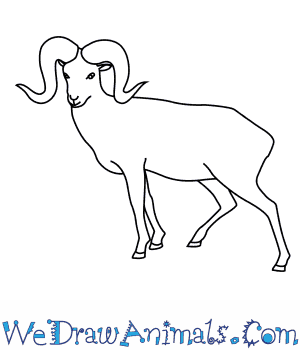 How to Draw an Argali in 7 Easy Steps