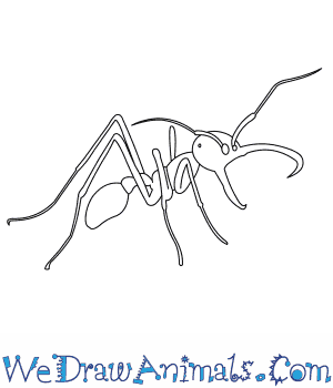 How to Draw an Army Ant in 7 Easy Steps