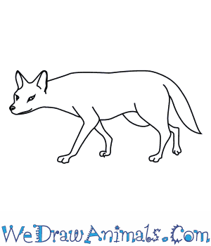 How to Draw an Asiatic Jackal in 8 Easy Steps
