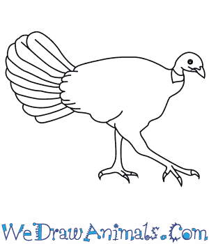 How to Draw an Australian Brush Turkey in 7 Easy Steps