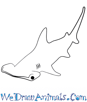 How to Draw a Baby Hammerhead Shark in 4 Easy Steps