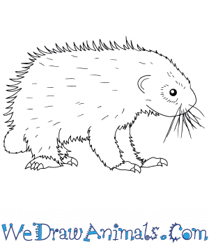 How to Draw a Baby Porcupine in 6 Easy Steps