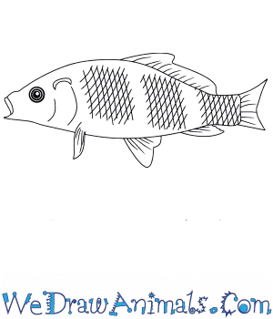 How to Draw a Baby Tilapia in 4 Easy Steps