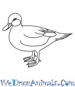 How to Draw a Bahama Pintail in 7 Easy Steps