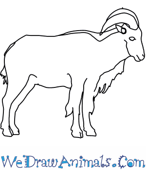 How to Draw a Barbary Sheep in 5 Easy Steps