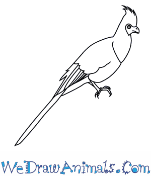 How to Draw a Bare Faced Go Away Bird in 7 Easy Steps