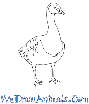 How to Draw a Barnacle Goose in 6 Easy Steps