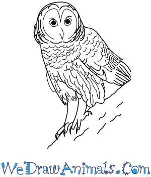 How to Draw a Barred Owl in 10 Easy Steps
