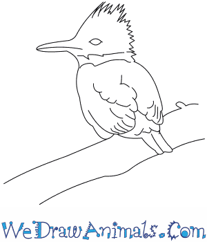 How To Draw A Belted Kingfisher