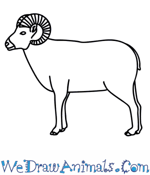 How to Draw a Bighorn Sheep in 9 Easy Steps