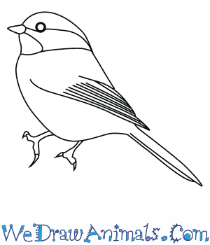 How to Draw a Black Capped Chickadee in 7 Easy Steps