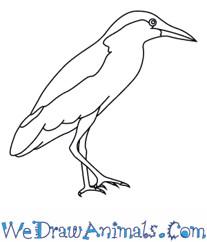 How to Draw a Black Crowned Night Heron in 7 Easy Steps