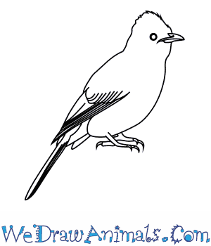 How to Draw a Black Eyed Bulbul in 7 Easy Steps
