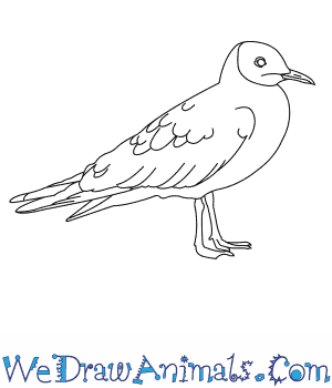 How to Draw a Black Headed Gull in 6 Easy Steps