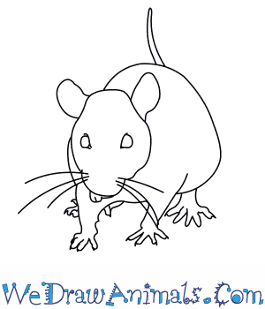 How to Draw a Black Rat in 9 Easy Steps