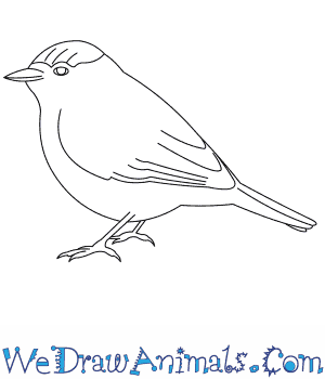 How to Draw a Blackcap in 7 Easy Steps