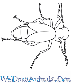 How to Draw a Blister Beetle in 7 Easy Steps