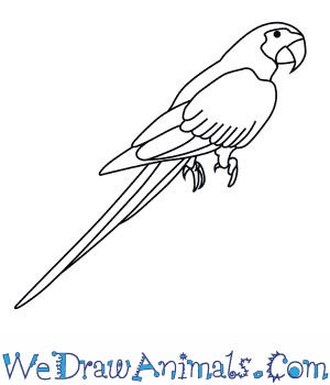 How to Draw a Blue And Gold Macaw in 7 Easy Steps
