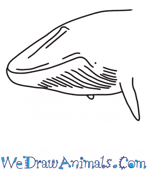 How to Draw a Blue Whale Head in 6 Easy Steps