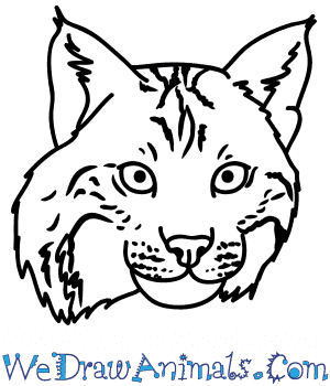 How to Draw a Bobcat Face in 6 Easy Steps