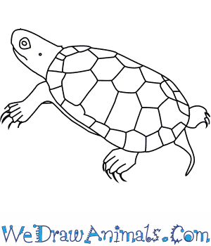 How to Draw a Bog Turtle in 7 Easy Steps
