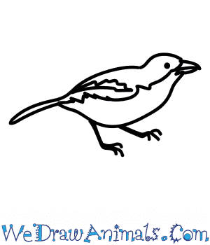 How to Draw a Boubou Shrike in 6 Easy Steps