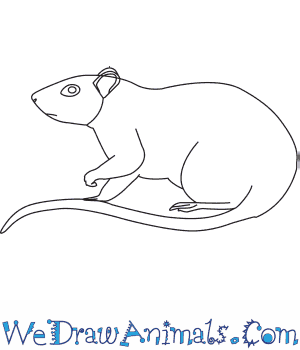How to Draw a Brown Rat in 6 Easy Steps