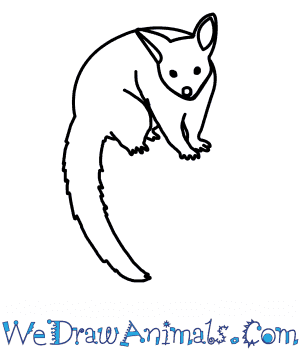 How to Draw a Brushtail Possum in 7 Easy Steps