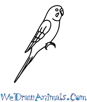 How to Draw a Budgie in 6 Easy Steps