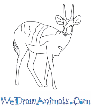 How to Draw a Bushbuck in 6 Easy Steps