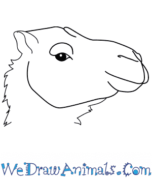 How to Draw a Camel Face in 9 Easy Steps