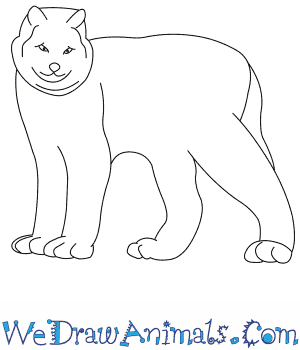 How to Draw a Canada Lynx in 8 Easy Steps