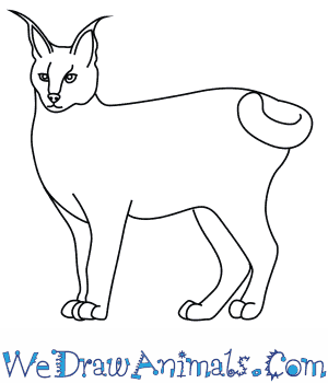 How to Draw a Caracal in 8 Easy Steps