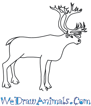 How to Draw a Caribou in 9 Easy Steps
