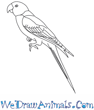 How to Draw a Carolina Parakeet in 8 Easy Steps
