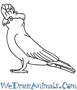 How to Draw a Cartoon Galah in 6 Easy Steps
