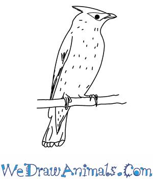 How to Draw a Cedar Waxwing in 9 Easy Steps
