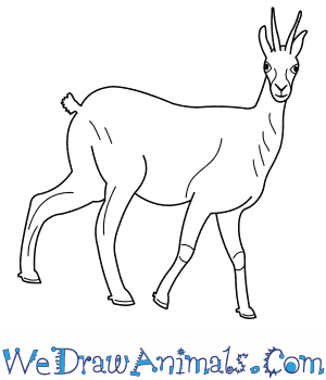 How to Draw a Chamois in 9 Easy Steps