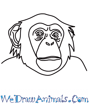 How to Draw a Chimpanzee Head in 7 Easy Steps