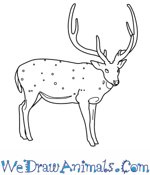 How to Draw a Chital in 9 Easy Steps